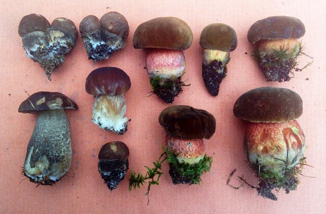 A dozen small bolete mushrooms on a cloth: birch bolete, porcini, dotted-stem bolete